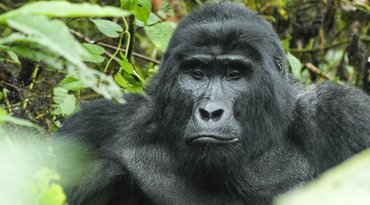 4 Days Gorilla and Chimp Tracking Safari