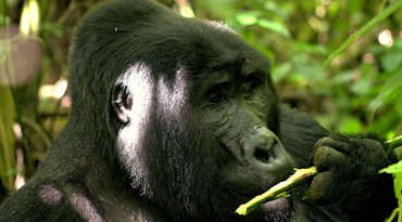 Uganda Gorillas and Game Safari