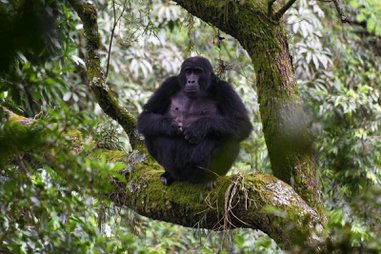 Gorillas and big game safari in uganda & rwanda