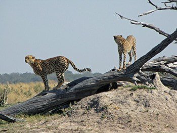 13 days spectacular safari in north west district botswana nB5Oq.jpg