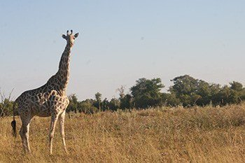 14 days extraordinary safari in botswana OWA7G.jpg