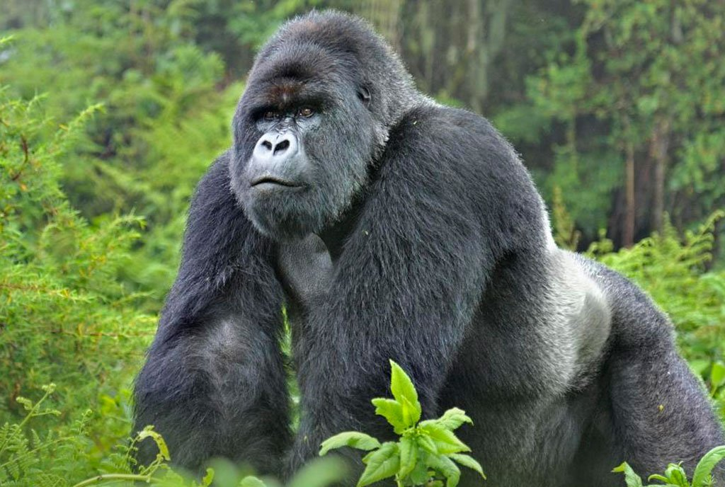 4-days-gorilla-tour-in-uganda-WjllpskTFY.jpeg