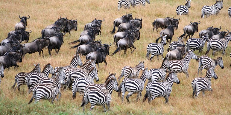 8 days tanzania serengeti wildebeest migration safari adventure CUPbvNzOLD.jpeg