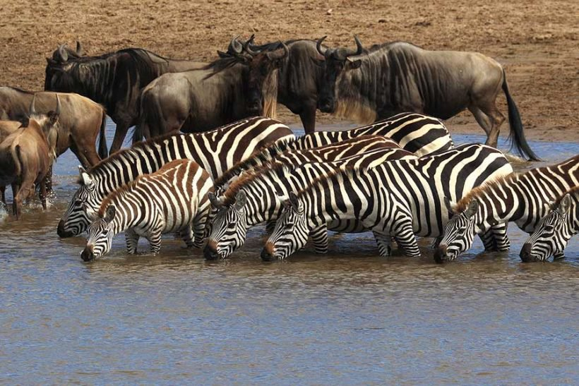 8 days tanzania serengeti wildebeest migration safari adventure YNAkB00xQv.jpeg