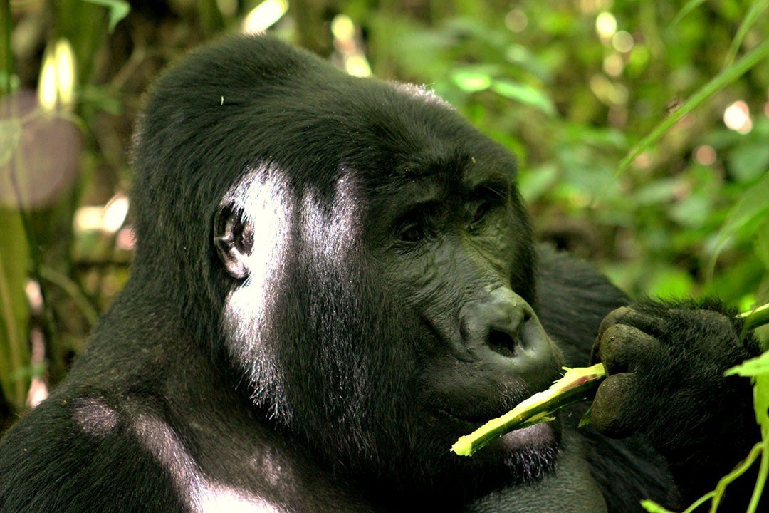 uganda-gorillas-and-game-safari-0shkn.jpg